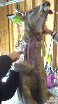 Skinning the deer