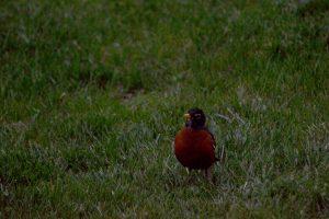 Cute friendly robin